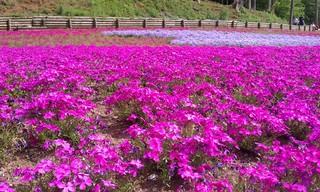 2012芝桜1.jpg