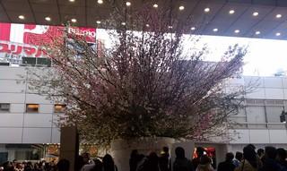 Sakura Project10.jpg