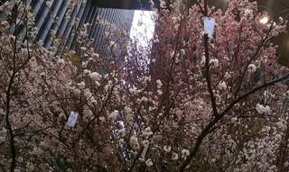 Sakura Project3.jpg